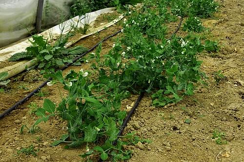 Plants fèves sous serre