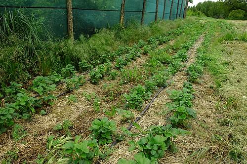 Les rangs de fraisiers