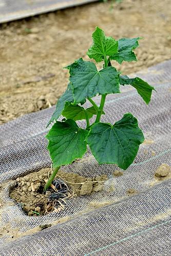 Plant de concombres
