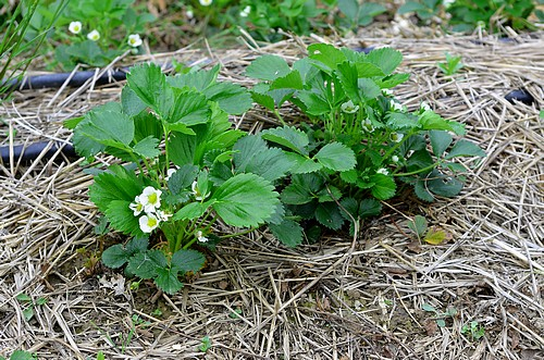 Plant de fraises