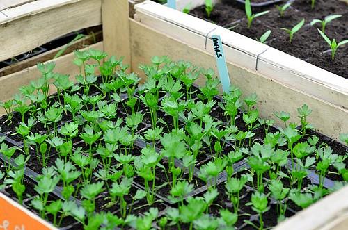Serre semis et plants : plants de celeri boule