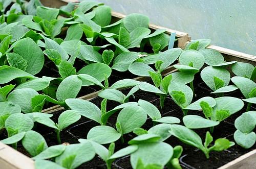 Serre semis et plants : plants de courges