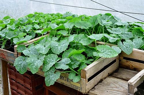 Serre semis et plants : Plants de courgettes