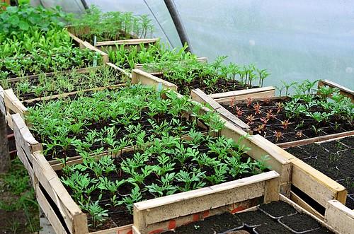 Serre semis et plants : plants d'oeillets d'inde, cosmos, amaranthe, pavots et capucines