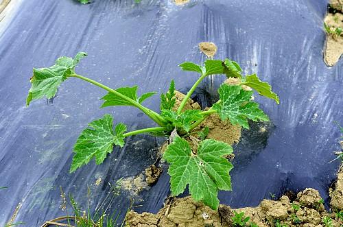 Plant de courgette
