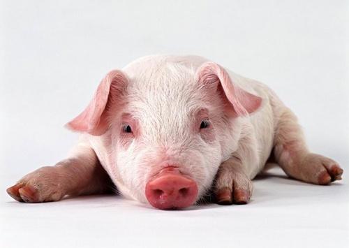 Le cochon sympa